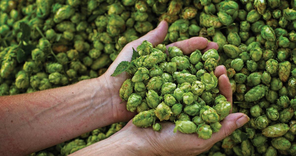Unusual Jobs in Whiskey Industry-hops breeder